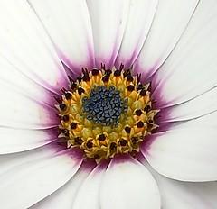 Flower (daveandlyn1) Tags: flowers petals daisy mygarden pralx1 p8lite2017 huaweip8 colours smartphone psdigitalcamera cameraphone