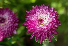 Chrysanthemum Eureka 2019-05-04 (5D_32A4134) (ajhaysom) Tags: chrysanthemumeureka gardenofsterth blackwood australia canoneos5dmkiii canon100mmlmacro 100flowers2019 image71100