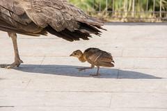 In mom's shadow. (Azariel01) Tags: 2019 espagne spain españa cartagena carthagène paon peacok bird oiseau bébé baby paonneau peafowl poussin chick
