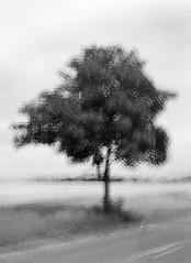 Multi-expo: Roadside Tree (LarsHolte) Tags: pentax 645 pentax645 645n 6x45 smcpentaxfa 75mm f28 120 film 120film analog analogue kosmo foto mono 100iso rodinal aph09 mediumformat blackandwhite classicblackwhite bw monochrome filmforever filmphotography ishootfilm larsholte homeprocessing multiexpo multiexposure tree