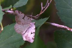 Hall-põõsavaksik; Macaria wauaria; The V-Moth (urmas ojango) Tags: lepidoptera liblikalised insecta putukad insects moth vaksiklased geometridae nationalmothweek hallpõõsavaksik macariawauaria thevmoth