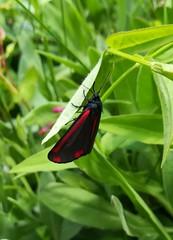 Moth. (daveandlyn1) Tags: plant foliage pralx1 p8lite2017 huaweip8 smartphone psdigitalcamera cameraphone closeup macro moth cinnabarmoth redblackmarkings