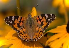 Butterfly (katrinchen59) Tags: butterfly naturephotography insects macrophotography naturephotogray orange fauna schmetterling naturfotografie insekten makrofotografie vlinder natuur