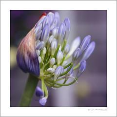 First opening (G. Postlethwaite esq.) Tags: dof macro unlimitedphotos agapanthus bokeh closeup depthoffield flowers garden photoborder plant selectivefocus