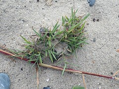 Cynodon dactylon - Chiendent pied de poule - Vilfa stellata or Bermuda grass or Bahama grass or Devil's grass or Couch grass - 08/08/19 (Philippe_Boissel) Tags: cynodondactylon chiendentpieddepoule vilfastellata bermudagrass bahamagrass devilsgrass couchgrass cynodon poaceae cyperales commelinidae liliopsida magnoliophyta tracheobionta plantae plante botany europe france bretagne finistère plovan 82488