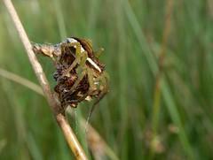Dolomedes fimbriatus (rockwolf) Tags: dolomedesfimbriatus spider raftspider arachnid araignée dolomèdedesmarais wemmoss shropshire rockwolf