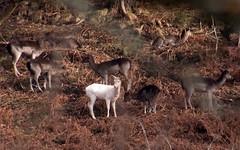 White deer at Fingle Bridge, Dartmoor (chris-parker) Tags: white deer albino fingle bridge river teign dartmoor devon stream water waterfall slow shutter speed