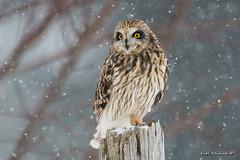 I'm bored... (Earl Reinink) Tags: owl winter snow woods nature bird animal shortearedowl raptor eyes earlreinink arddaudoa