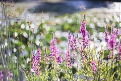 purple loosestrife (Yuki (8-ballmabelleamie)) Tags: naturepark forestpreserve morning daylight plants green 50mmlens manualfocus flowers wildflowers pond water colours colourful pastel bokeh reflection