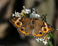 Uncommon visitor (Fred Roe) Tags: nikond7100 nikonafsnikkor200500mm156eed nature naturephotography national wildlife wildlifephotography animals insect butterfly commonbuckeye junoniacoenia colors outside flickr macro backyard