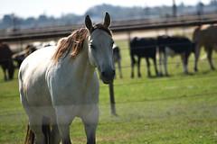 Sad. (salomegfell1951) Tags: summer beautiful travelfield sky grass equine horse