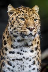 Calm posing Amur leopard (Tambako the Jaguar) Tags: leopard big wild cat amur male close portrait face posing tired calm looking darkbackground walter zoo gossau switzerland nikon d5