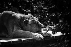 Lion Resting (John Fenner) Tags: olympus em markii mzuiko 40150mm f28zoom london zoo regentspark lion feline bigcat king jungle resting black white mono