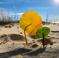 Yellow Leaf (caralan393) Tags: yellow leaf backlight sand texture