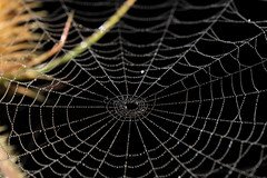 Toile d'araignée & rosée du matin (CharlieSUN03) Tags: toile araignée rosée gouttes perles matin macro