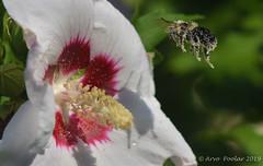 Bee with pollen (Arvo Poolar) Tags: outdoors ontario canada scarborough rosettamcclaingardens arvopoolar nikond500 nature natural naturephotography naturallight female bumblebee