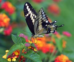Giant Swallowtail (Arvo Poolar) Tags: outdoors ontario canada scarborough rosettamcclaingardens arvopoolar nikond500 nature natural naturephotography naturallight butterfly giantswallowtail flowers
