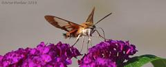 Clear Winged Hummingbird Moth (Arvo Poolar) Tags: outdoors ontario canada scarborough rosettamcclaingardens arvopoolar nikond500 nature natural naturephotography naturallight moth clearwingedhummingbirdmothcaterpillar wings flowers