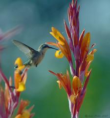 Ruby Throated Hummingbird (Arvo Poolar) Tags: outdoors ontario canada scarborough rosettamcclaingardens arvopoolar nikond500 nature natural naturephotography naturallight hummingbirdfeeding rubythroatedhummingbird flowers