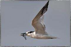 Sandwich Terns (RKop) Tags: d500 600mmf4evr raphaelkopanphotography fortdesotostatepark florida