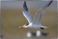 Royal Tern (RKop) Tags: d500 600mmf4evr raphaelkopanphotography fortdesotostatepark florida