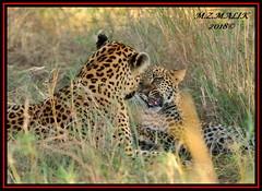 FEMALE LEOPARD AND HER CUB (Panthera pardus) ...MASAI MARA.....SEPT 2018. (M Z Malik) Tags: nikon d3x 200400mm14afs kenya africa safari wildlife masaimara keekoroklodge exoticafricanwildlife exoticafricancats flickrbigcats leopard pantheraparduc ngc