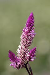 What You See (><Nessa><) Tags: macro colours flora purple pink flowers colour botanicalgarden niagara outside ontario petals ittybitty details light summer green garden park copyrightvanessabartosek