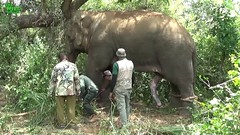 Relocating a humungous five-legged elephant to a Conserved Forrest. Part 1 (THE WILD ELEPHANT) Tags: huge elephant rescue video youtube quite baby funny kids videos the wild wildlife news tv