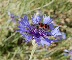 Trichodes alvearius (rockwolf) Tags: trichodesalvearius beetle cleridae coleoptera insect cornflowers flora bleuet centaureacyanus leperruchet parcduperche france 2019 rockwolf