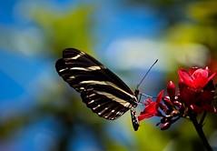 Jatropha Joy (ACEZandEIGHTZ) Tags: zebralongwing butterfly macro closeup nikond3200 flyinginsect nature winged heliconiuscharitonius bokeh jatrophatree red flowers sky sunny coth alittlebeauty coth5 sunrays5 vividstriking