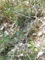 Das war eine Kreuzotter (elisabeth.mcghee) Tags: vogelfreistätte groser rusweiher see lake wasser water wald forest natur nature frühling spring kreuzotter schlange adder vipera berus