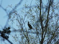 Er hält die Stellung (elisabeth.mcghee) Tags: vogelfreistätte groser rusweiher see lake wasser water wald forest natur nature frühling spring kormoran cormorant phalacrocorax carbo vogel bird wasservogel