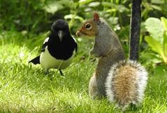 Grey Squirrel & Magpie (blue33hibiscus) Tags: animal mammal rodent greysquirrel magpie garden cornwall sundaylights