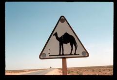 Sahara Camel Warning (ubqlfulp16) Tags: sahara algeria niger cameron nigeria chad
