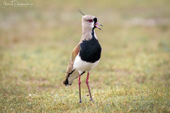 Vanellus chilensis (Gabriel Paladino Photography) Tags: salinas canelones uruguay fauna animal nature natural naturaleza wildlife canon 77d 9000d sigma 150600 contemporary vanellus chilensis tero southernlapwing gabrielpaladino pájaro lapwing teru charadriidae ave bird ainmhithe állati anifeiliaid animale annimali anụmanụ wader chordata charadriiformes favme fave exploreme aves animalia queroquero