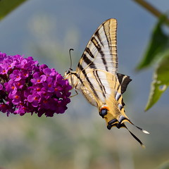 Flambé - Scarce Swallowtail (Elisabeth Lys) Tags: papillon flambé scarceswallowtail butterfly nature macro insecte d7200 square yellow jaune sigma 105mm 105mmf28 iphiclidespodalirius