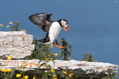 ''Aller hop!'' Macareux moine-Atlantic Puffin (pascaleforest) Tags: canada bird nature animal nikon quebec wildlife marin oiseau île faune wild