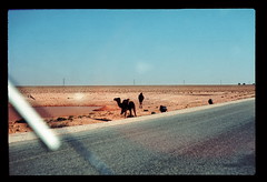 Sahara Camels 1 (ubqlfulp16) Tags: sahara algeria niger cameron nigeria chad