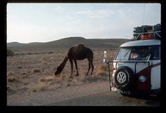 Sahara Camels 2 (ubqlfulp16) Tags: sahara algeria niger cameron nigeria chad