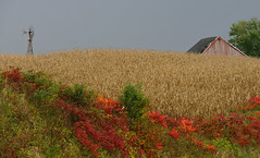 out on the prairie and above the corn in fall (WORLDS APART PHOTO) Tags: corn fall sumac colours colors field crop agriculture barn windmill windmillwednesday wisconsin farm prairie midwestern plains sky tree