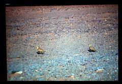Desert Grouse (ubqlfulp16) Tags: sahara algeria niger cameron nigeria chad