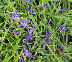 Purple blossoms fallen on grass (Monceau) Tags: purple blossoms fallen grass green purplegreen