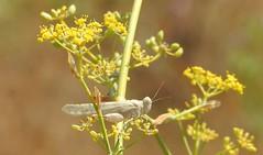 Slender Blue-winged Grasshopper (Sphingonotus caerulans) (Nick Dobbs) Tags: bluewinged grasshopper insect malta orthoptera sphingonotus caerulans slender