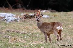 Capriolo - perdita del velluto (silvano fabris) Tags: ungulati wildlifephotography photonature natura animals animali capriolo