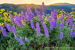 Spring Glory (Gary Grossman) Tags: morning flowers oregon sunrise dawn northwest columbia gorge rays lupine rowena balsamroot wildlflowers nature beauty landscape pacificnorthwest columbiarivergorge naturephotography rowenacrest landscapephotography garygrossman garygrossmanphotography