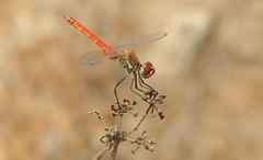 Red Veined Darter (Sympetrum fonscolombii) (Nick Dobbs) Tags: red veined darter sympetrum fonscolombii insect dragonfly malta male maltese islands ħamrani