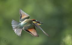 ......the great beauty. (Fabrizio Comizzoli) Tags: merops apiaster gruccione volo fly colori