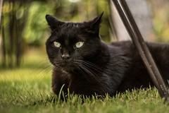 Gizmo ~ Petzval lens (~ Jessy S ~) Tags: nikon d750 petzval lens 85 lomography nikond750 cat cats kitty kitten cute chat chats portrait pet pets bokeh bokehness