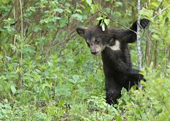 Black Bear cub...#25 (Guy Lichter Photography - 5.1M views Thank you) Tags: canon 5d3 canada manitoba rmnp wildlife animal animals mammal mammals bear bears blackbear cub