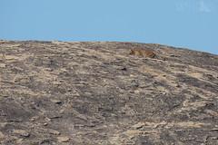 Sri Lankan Leopard (Ben Locke.) Tags: srilankanleopard leopard srilanka wild wildlife nature cat cats